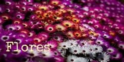 flores250x125